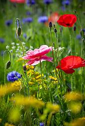 Papaver rhoeas - Corn Poppies, Field poppies -  with Centaurea cyanus - cornflowers, Ammi majus - Bishop's Flowers and Bupleurum rotundifolium in the meadow.