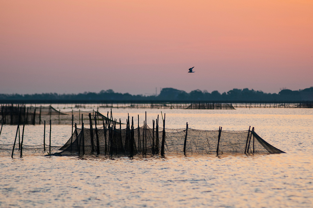 VENICE, ITALY - APRIL 2018. <br /> A bird flyes over the fishing nets during sunrise in the Venetian lagoon, close to the island of Torcello. The Venetian lagoon is an incredible ecosystem, that hosts a variety of animals that is very wide.