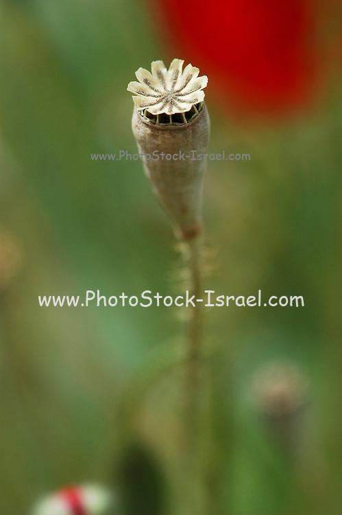 Israel, red poppies Papaver umbonatum seed pod