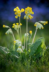 Primula veris - Common cowslip, Cowslip primrose - naturalised in a lawn