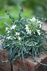 Brassica oleracea 'Spigariello' - Kale