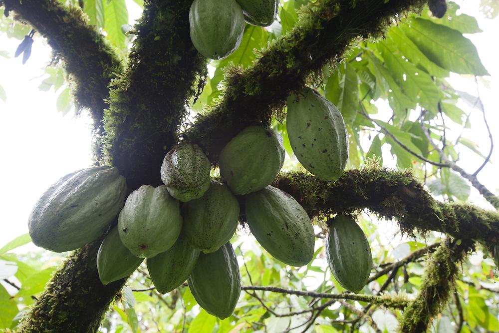 A cluster of cocoa pods on a tree at UNCRISPROCA Fairtrade cocoa farms in La Cruz de Rio Grande, RAAS, Nicaragua.
