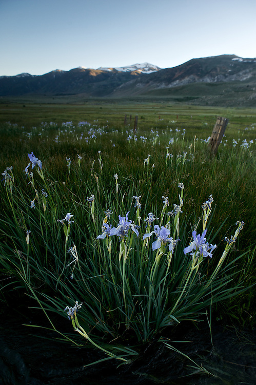 A heavy winter snowpack has melted beneath the Sierra sky and given way to streams dancing with runoff, creating an abundance of wildflowers. Here in late June lilies adorn the Conway Ranch in the Mono Basin
