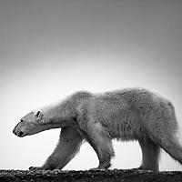 Polar Bears Full