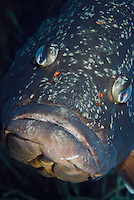 Dusky Grouper (Epinephelus marginatus) - 'endangered' in IUCN Red List - with numerous fish lice (parasitic copepods) above its mouth<br /> France: Corsica, Lavezzi Islands, Cala di Grecu