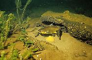 Black Bullhead guarding eggs/nest<br /> <br /> ENGBRETSON UNDERWATER PHOTO