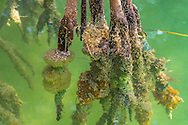 Paritally submerged mangrove branches, covered with colorful sponges, in a brackish canal near Key Largo, Florida. WATERMARKS WILL NOT APPEAR ON PRINTS OR LICENSED IMAGES.