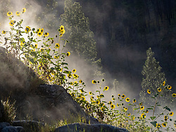 United States, Idaho, Lowman, wild sunflowers (Helianthus annuus) and steam rising from Pine Flats Hot Spring at dawn