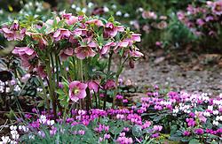 Helleborus x hybridus 'Ashwood Garden Hybrids' with Cyclamen coum in Veronica Cross's garden