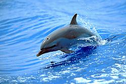 pantropical spotted dolphin calf, Stenella attenuata, wake-riding, Big Island, Hawaii, Pacific Ocean