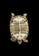 Spur-thighed Tortoise or Greek Tortoise (Testudo graeca) under x-ray top view