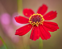 Coreopsis Flower. Image taken with a Leica SL2 camera and Sigma 70 mm f/2.8 macro lens