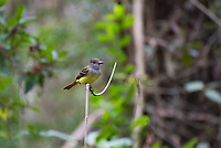 This common, large flycatcher is frequently seen (or just heard) in the Eastern half of North America high in the treetops where it actively and aggressively hunts insects and ripe fruits and even the occasional small invertebrate such as lizards. This one was seen perched out in the open above the black waters of the Corkscrew Swamp on a cool November evening in Southwest Florida.