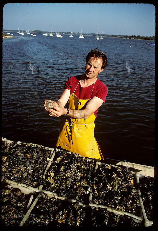Gildas Audic holds only flat oyster found among tons Japanese oysters, Gulf of Morbihan. France