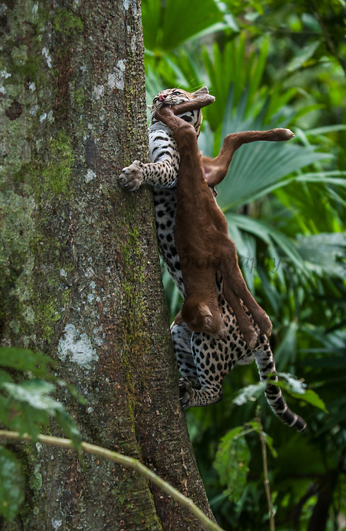 Ocelot (Felis (Leopardus) pardalis) carrying a baby goat CAPTIVE<br /> Amazon Rain Forest. ECUADOR. South America<br /> Range: Forest and steppe from Arizona to n Argentina.<br /> Small cat weighing 11 - 16kgs. They prey on small mammals, birds, reptiles and are equally at home on the ground and in trees.  They are excellent climbers and swimmers.