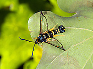 Yellow-legged Clearwing - Synanthedon vespiformis