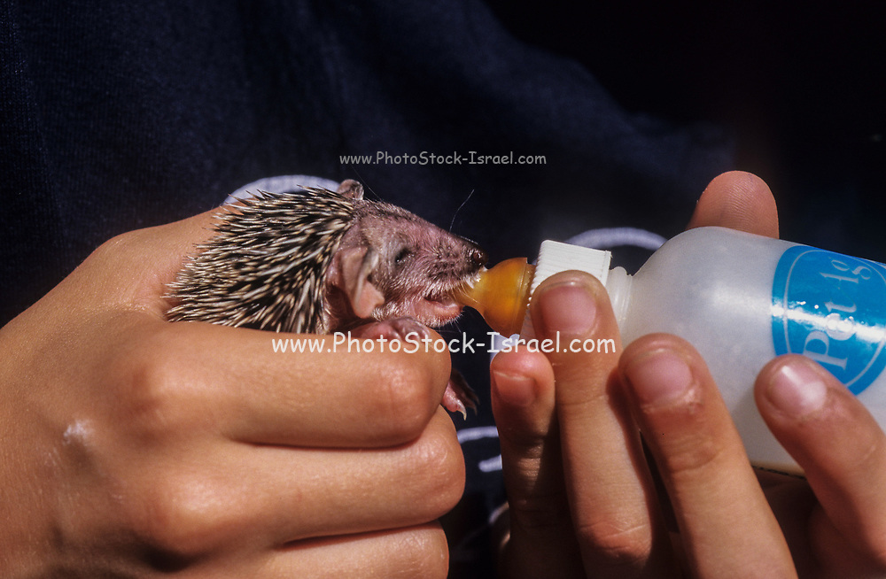 young, newborn Southern white-breasted hedgehog (Erinaceus concolor) (AKA Eastern European Hedgehog) is being fed with a bottle by a caretaker