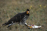 Carunculated caracara (Phalcoboenus carunculatus) feeding on Andean Lapwing (Vanellus resplendens)<br /> 5,753 meters high or 18,874 ft<br /> Avenue of the Volcanoes<br /> Cordillera Real, Andes<br /> Condor Bioreserve as part of the Antisana Ecological Reserve<br /> ECUADOR, South America<br /> Last erupted between 1801 and 1802