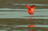 A Scarlet Ibis (Eudocimus ruber) foraging in the mudflats in the Orinoco River Delta, Venezuela.