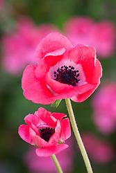 Anemone coronaria 'Mistral Shocking Pink'