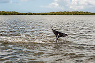 A dolphin feeds in the bay and inland waters of the Everglades near Chokoloskee, FL