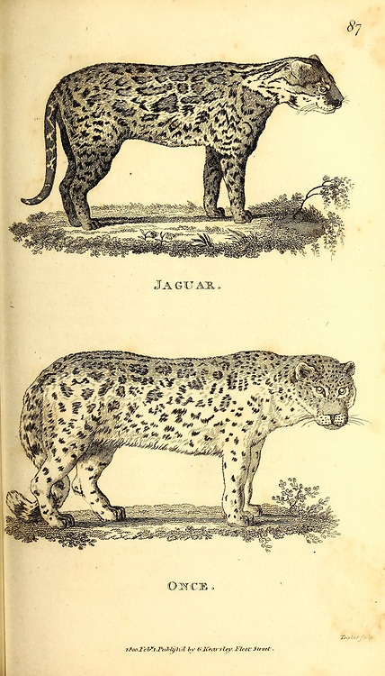 Jaguar and Snow Leopard (Ounce) from General zoology, or, Systematic natural history Part I, by Shaw, George, 1751-1813; Stephens, James Francis, 1792-1853; Heath, Charles, 1785-1848, engraver; Griffith, Mrs., engraver; Chappelow. Copperplate Printed in London in 1800. Probably the artists never saw a live specimen
