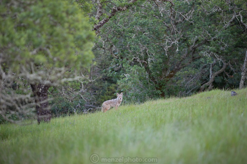 Menzel and D'Aluisio home, Napa Valley, CA. Coyotes.