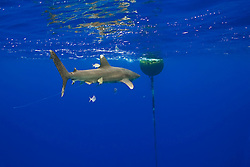 Oceanic Whitetip Shark, Carcharhinus longimanus, trailing a fishing line from its mouth, swimming in strong down current at the FAD buoy (Fish Aggregation Device), accompanied by Pilotfish, Naucrates ductor, and juvenile Amberjacks, Seriola dumerili, off Kona, Big Island, Hawaii, Pacific Ocean.