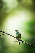 Hummingbird perching, Cloud Forest, Mashpi Reserve, Distrito Metropolitano de Quito, Ecuador