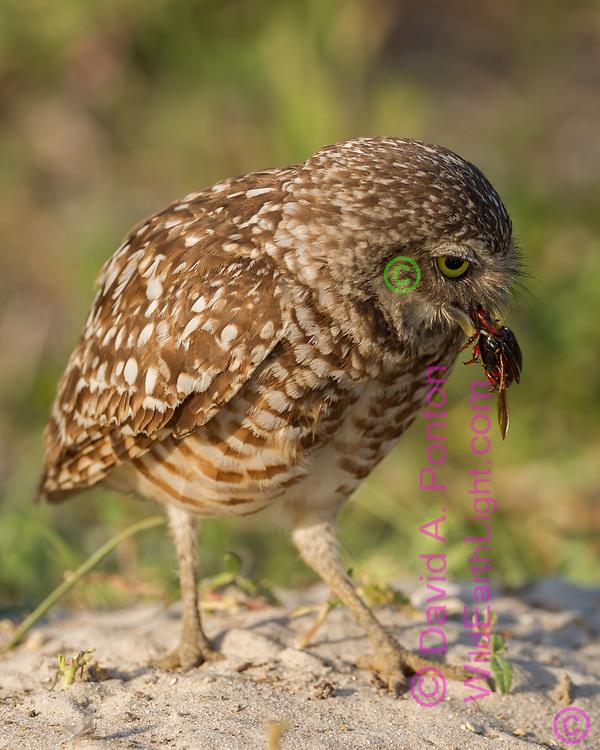Adult burrowing owl with prey (beetle), © David A. Ponton