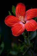 Red Hibiscus flower, Molokai, Hawaii