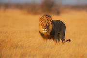A dominant male African lion (Leo Panthera) giving eye contact while standing in golden grass of a savannah in warm evening light, Chobe National Park, Botswana, Africa