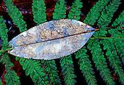 Leaf on fern - Mississippi.