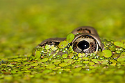 Rio-grande leopard frog