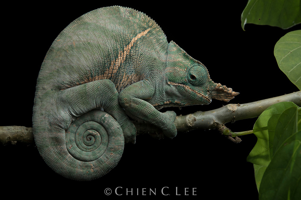 Although masterful visual predators by day, chameleons lack light-sensitive rods in their eyes and thus have poor night vision. Because of this they typically retire at dusk to a sleeping perch, often returning to a favorite exposed branch which ideally puts them out of the reach of nocturnal snakes. This dozing Two-banded Chameleon (Furcifer balteatus) can be identified as a mature male by the two large rostral horns on his head, ornaments which are used to compete for mates. Endemic to only a small region of Madagascar's southeastern rainforests, this species has become increasingly endangered and rare due to habitat loss and collection for the pet trade. Ranomafana National Park, Madagascar.
