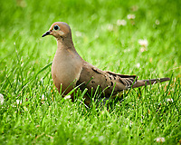 Mourning Dove. Image taken with a Nikon D850 camera and 600 mm f/4 VR lens.