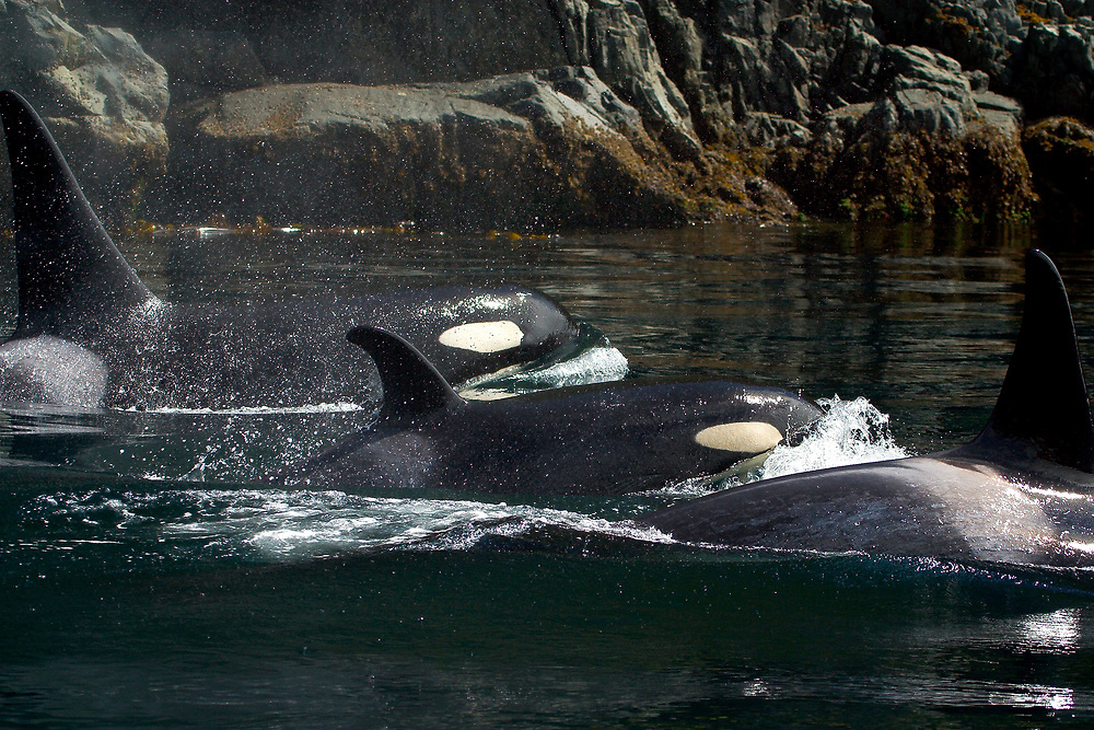 Alaska. SE. Inside Passage. A Pod of Orca whales (Grampus orcinus) in the waters of the Inside Passage.