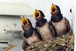 THEMENBILD - Die Schwalben (Hirundinidae) sind eine artenreiche Familie der Ordnung Sperlingsvögel (Passeriformes), Unterordnung Singvögel (Passeres). Schwalben ernähren sich von Fluginsekten, in Mitteleuropa sind sie Zugvögel. Aufgenommen am 09.08.2013. Hier im Bild Schwalben füttern ihre Küken // THEMES IMAGE - The Swallows (Hirundinidae) are a diverse family of the order Passerines (Passeriformes), subordination songbirds (Passeres). Swallows feed on flying insects, in Central Europe they are migratory birds. Pictured on 2013/08/09. EXPA Pictures © 2013, PhotoCredit: EXPA/ Pixsell/ Marko Jurinec<br /> <br /> ***** ATTENTION - for AUT, SLO, SUI, ITA, FRA only *****