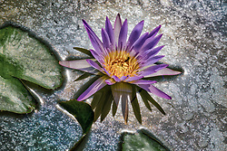 Water Lily, Purple #5