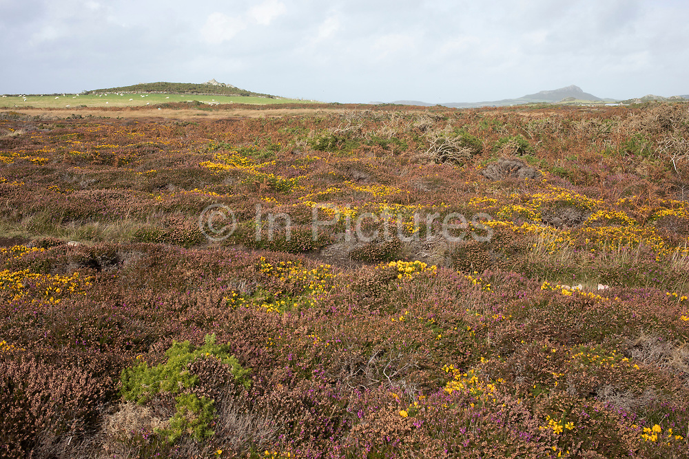 Landscape view looking inland across rocks covered in heather and headland at St Davids Head near St Davids, Pembrokeshire, Wales, United Kingdom.