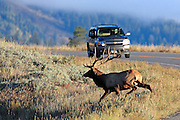 A large bull elk runs across a road in front of a vehicle.