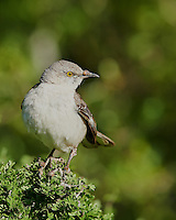 Mockingbird with a Growth on its Beak. Dos Vandas Ranch in Southern Texas. Image taken with a Nikon D800 camera and 400 mm f/2.8 lens (ISO 200, 400 mm, f/4, 1/1000 sec).