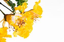 Royal Poinciana -yellow#4