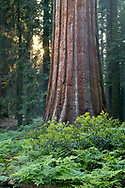 Giant Sequoia tree in mixed conifer pine forest at sunset, Sequoia National Park, California