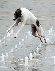 © Licensed to London News Pictures. 19/08/2012. London, UK Cashal, the lurcher, two years old this week, cools off in the fountain. Children play in the fountains at Granary Square in North London today. 1080 dancing jets of water make up the new fountain in its centre. Today is expected to be the hottest day of the year with temperature peaking at over 32 degrees celsius. Photo credit : Stephen Simpson/LNP