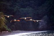 Pelecanus es un género de aves marinas llamadas vulgarmente pelícanos, y pertenecientes a la familia Pelecanidae. Los pelícanos son famosos por sus enormes picos, pero poseen otro rasgo distintivo: a diferencia de otras aves acuáticas, tienen los cuatro dedos palmeados, al igual que los cormoranes y alcatraces . Se alimentan de peces, y la mayoría vive en el mar. El pelícano es el único animal que traga agua salada y en su garganta la convierte en agua dulce para su consumo.<br /> Pueden volar durante mucho tiempo, pero se les hace difícil moverse en tierra. Las ocho especies que hoy en día existen se encuentran distribuidas en todos los continentes excepto Antártica. Algunas especies prefieren los lagos y otros depósitos de agua dulce, mientras que otras habitan las costas marinas. Aunque a todas se les puede ver en todo tipo de agua; dulce, salubre y salada. Estado de conservación: preocupación menor. ©Alejandro Balaguer/Fundación Albatros Media.