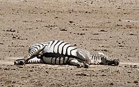 A Grant's Zebra, Equus quagga boehmi, takes a dust bath in Ngorongoro Crater, Ngorongoro Conservation Area, Tanzania