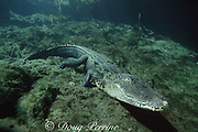 American alligator underwater, Alligator mississippiensis, note protective membrane covering eye, Silver Springs, Florida, USA