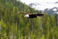 Alaska bald eagle flying