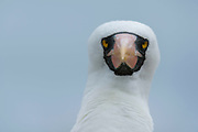 Portrait of a Nazca booby, Sula dactylatra granti, known also as masked booby, looking at the camera.
